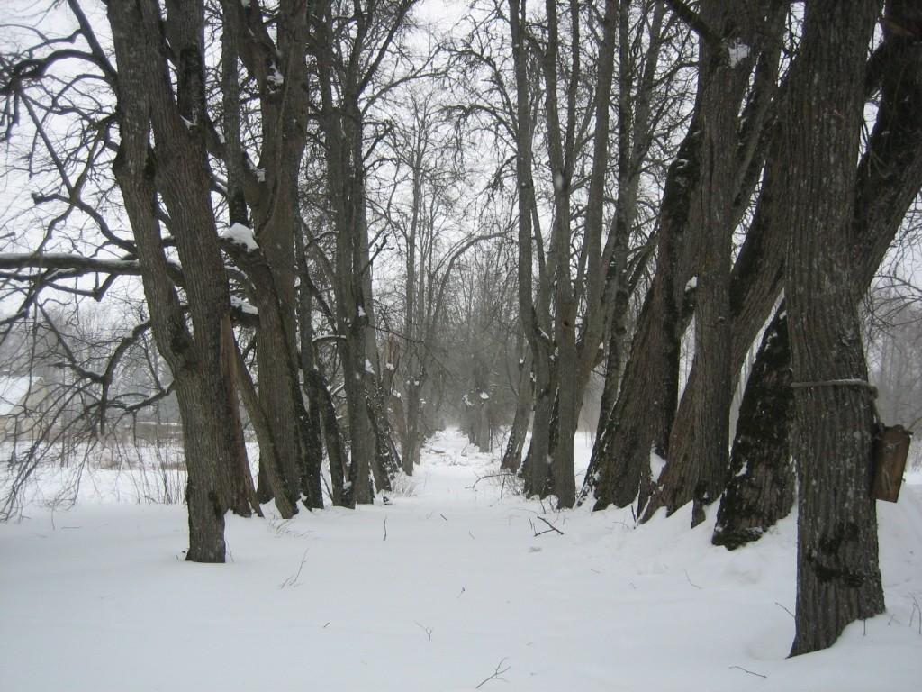 Ridaistutus pargi põhjaosas. Foto Silja Konsa. 15.02.2012.