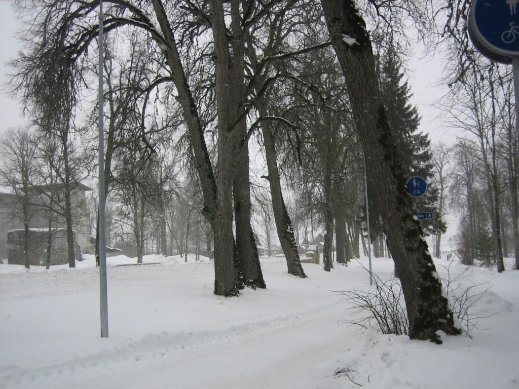Vaade põhjaosa ridaistutusele. Foto Silja Konsa, 15.02.2012.