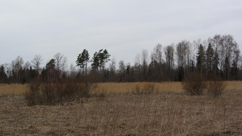 Vaade kalmistu suunas idast, kalmistuni viiva metsasihi lõpust umbes 100 m kauguselt. Kalmistu ala on kaetud kõrgete mändidega. Foto: Karin Vimberg, 19.04.2012.