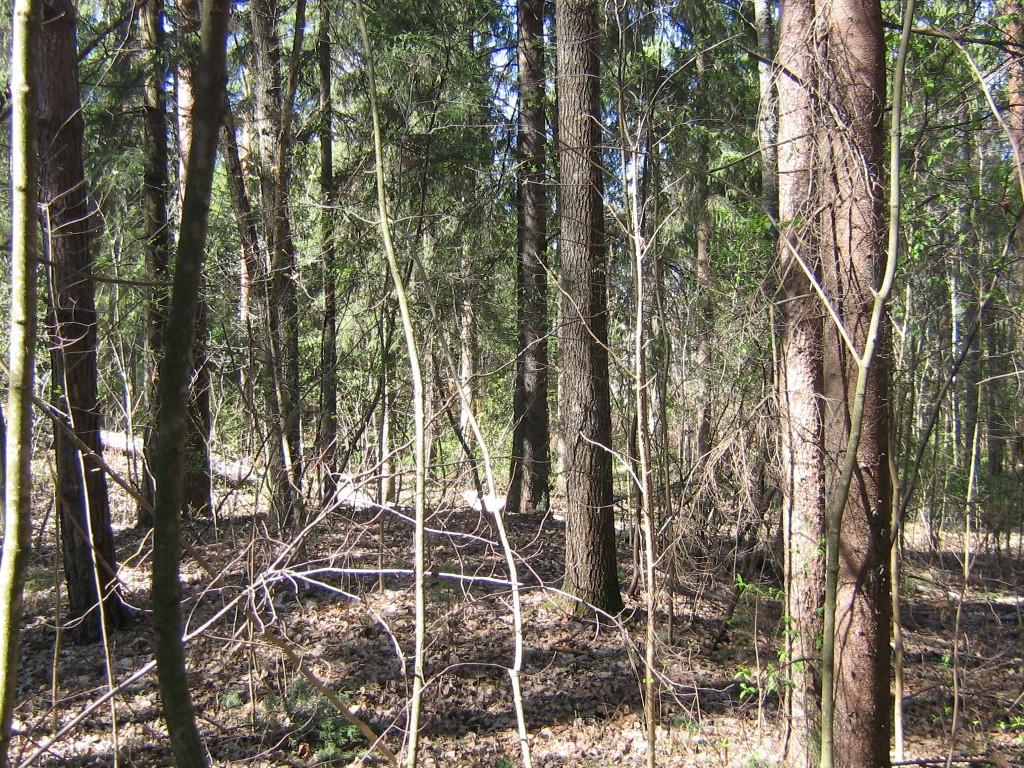 Vaade kääpale kevadel, mets on siin tihe. Foto: Viktor Lõhmus, 02.05.2011.