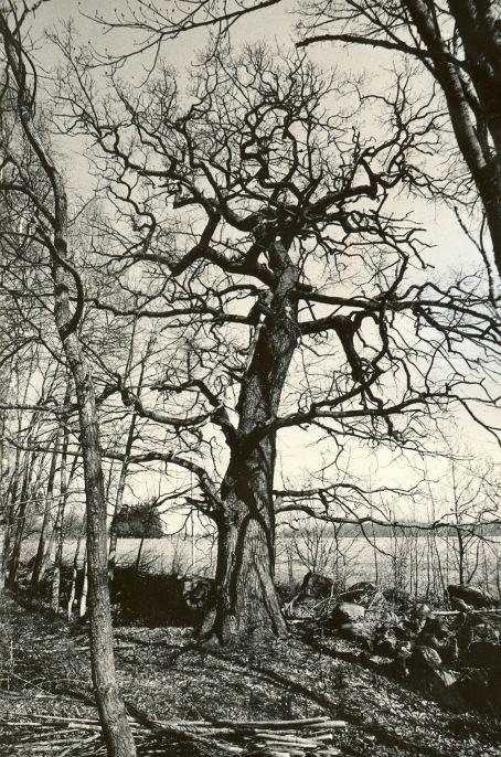 Hiietammed - läänest. Foto: M. Pakler, 06.05.1987.