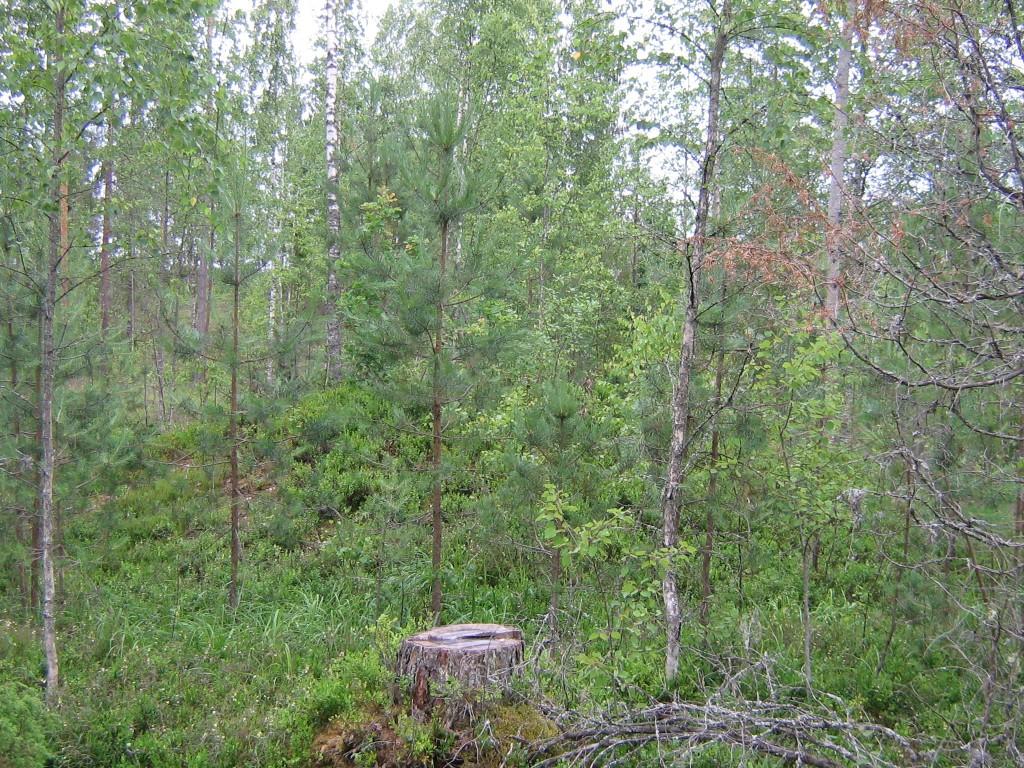 Vaade kääpale läbi noorte puude Holvandi-Kauksi tee ääres, teelt teine ida suunas minnes. Foto: Viktor Lõhmus, 03.07.2012.