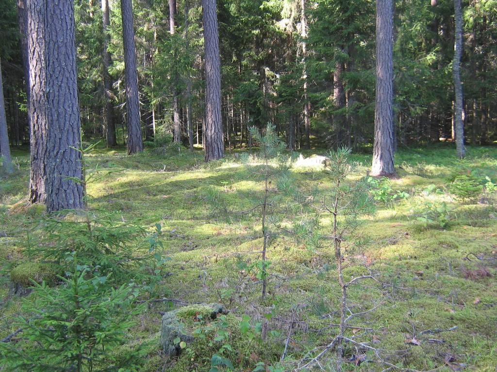 Vaade teest kaugemale jäävale kääpale metsaalal. Foto: Viktor lõhmus, 14.08.2012.