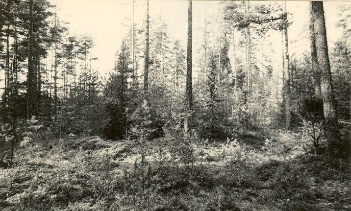 5 kääbast reg nr 11478-11482. Foto: M. Pakler, september 1975.