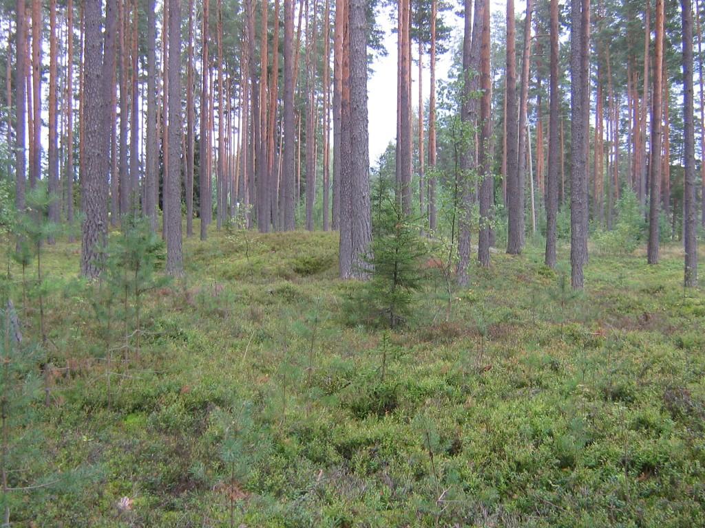 Kääbas eraldub metsas selgepiiriliselt. Foto: Viktor Lõhmus, 29.08.2012.