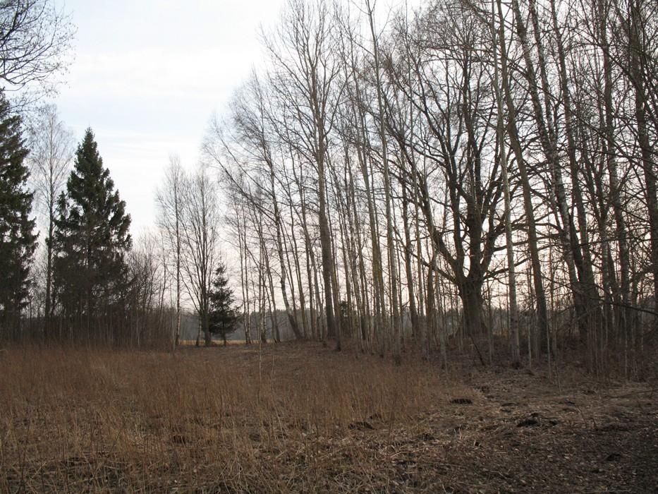 Vaade hiietammele kirde suunast. Foto: Kersti Siim, 10.03.2014.