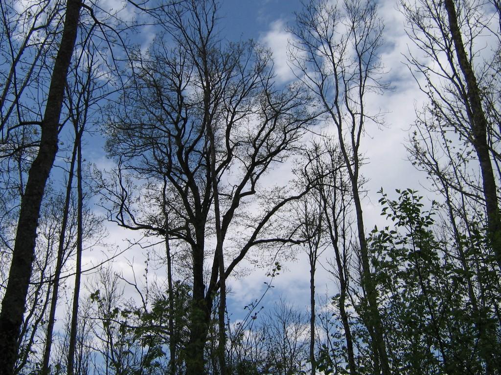 Hiiekünnapuu. Foto: A. Kivi, 02.05.2008.