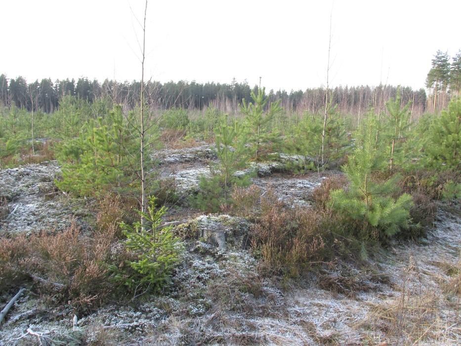 Kääbastik. Foto: Kersti Siim, 20.11.2014.
