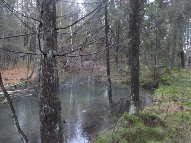 Suurt allikat ühendab Pühaojaga ca 4-5m laiune veega täidetud kraav. Vaade lõunast kraavile. Foto: M. Mutso, 02.01.2015.