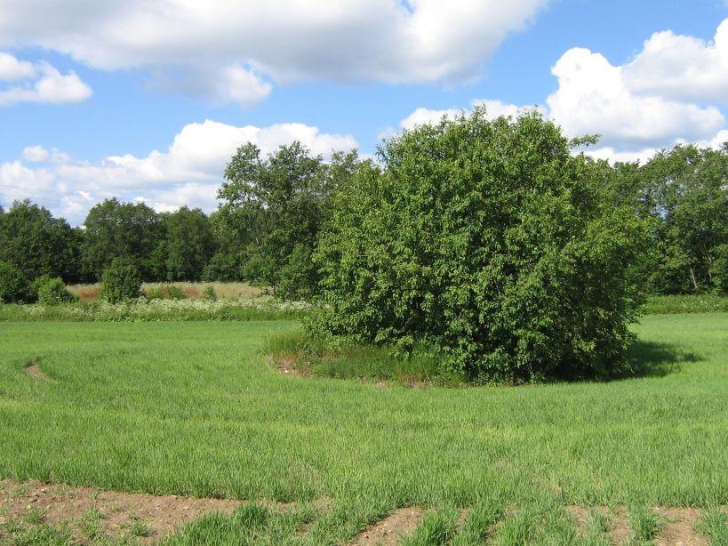 Kivi on puu all peidus.  Autor Ulla Kadakas  Kuupäev  13.06.2008
