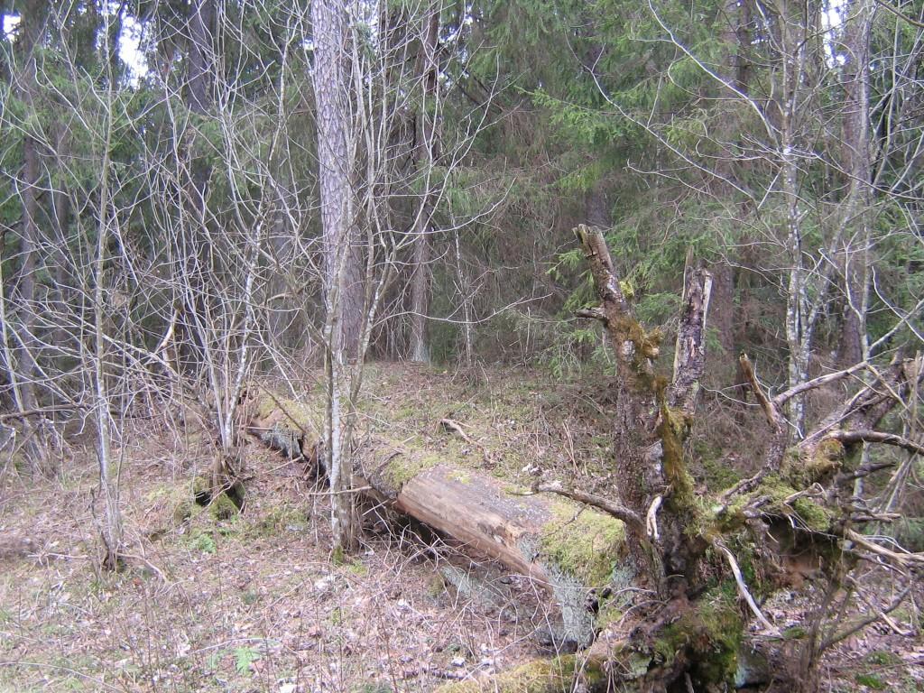 Puu murdunud põlluäärsele kääpale. Viktor Lõhmus 22.04.2015