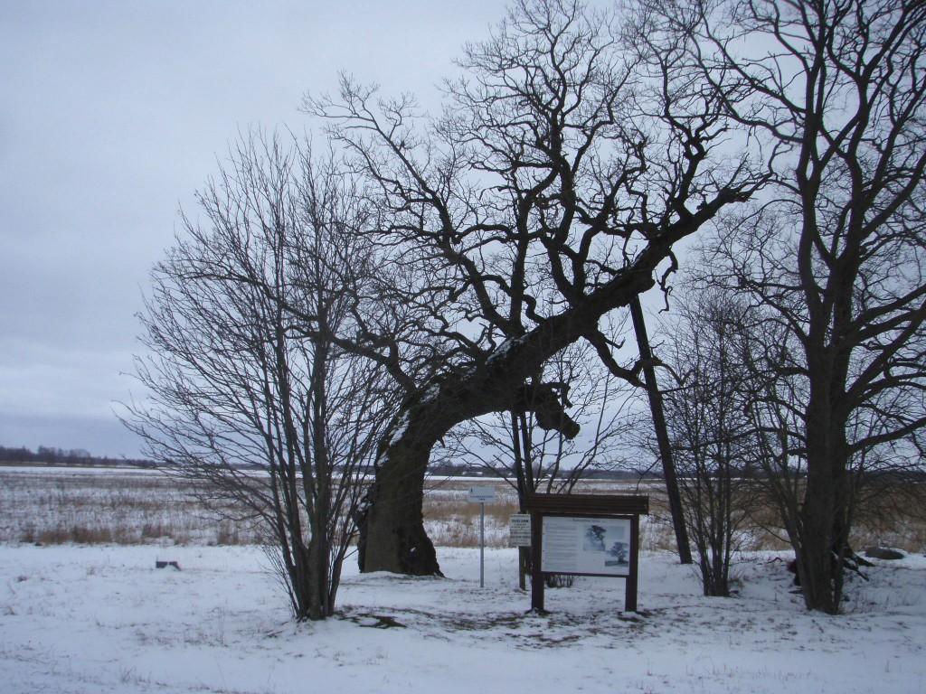 1000 aastane tamm. Foto: Sille Raidvere, 04.03.2008.
