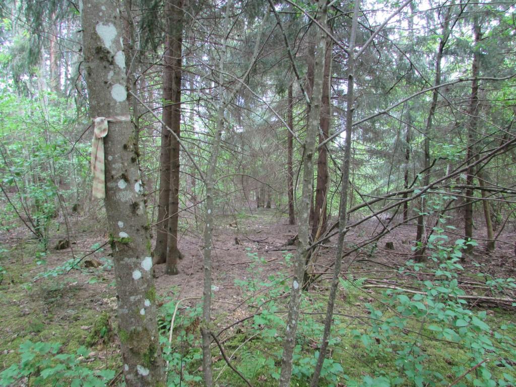 Vaade Miila hiiemäele reg-nr 10373 metsa sees. Esiplaanil näha puu külge seotud lindikest. Foto 17.05.2016, A.Kivirüüt.