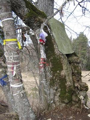 Ilumäe Hiieniinepuu. Foto: M. Abel, 23.04.2009.