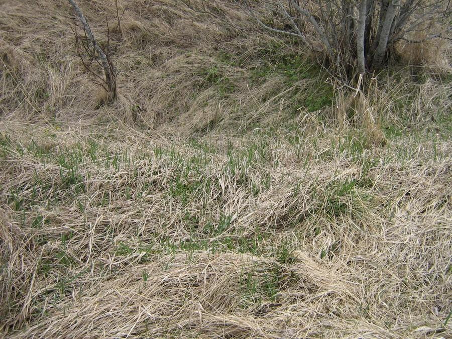 Kamardunud keldriauk. Foto: Kalli Pets, 28.04.2009.