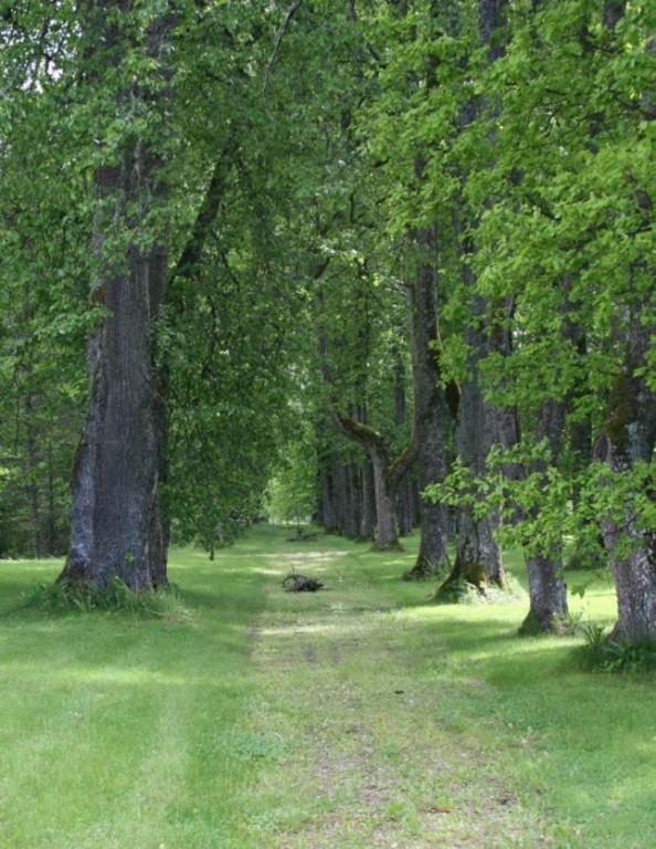 Kolu mõisa park - allee  9.juuni 2009 Kadi Särgava