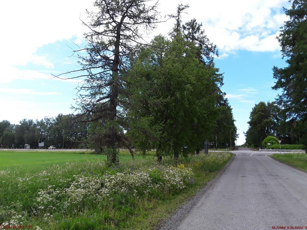Aaspere mõisa alleed. Foto: Raili Uustalu 12.06.2018. Vaade põhja- ja lõunasuunalise allee alguses olevatele puudele.