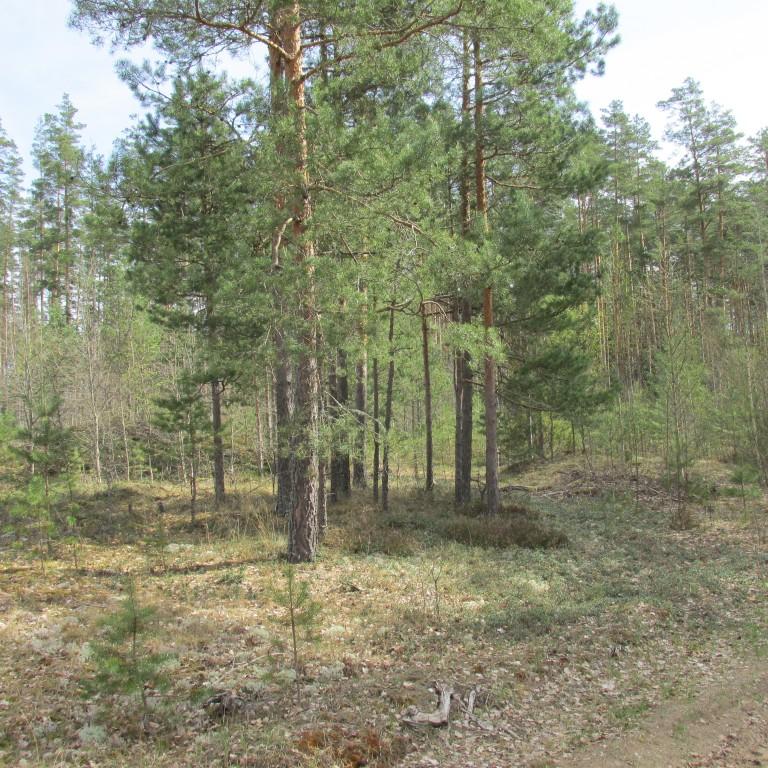 Kääpad 13507, 13506, 13508. Foto Mirja Ots, 3.05.2018.