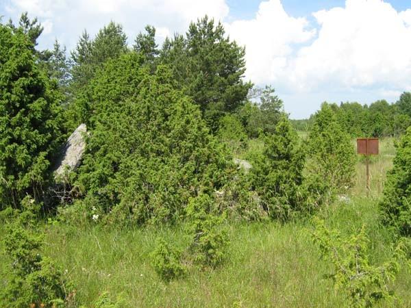 Vaade kultusekivile metsa poolt. Foto: M. Koppel, juuli 2009.