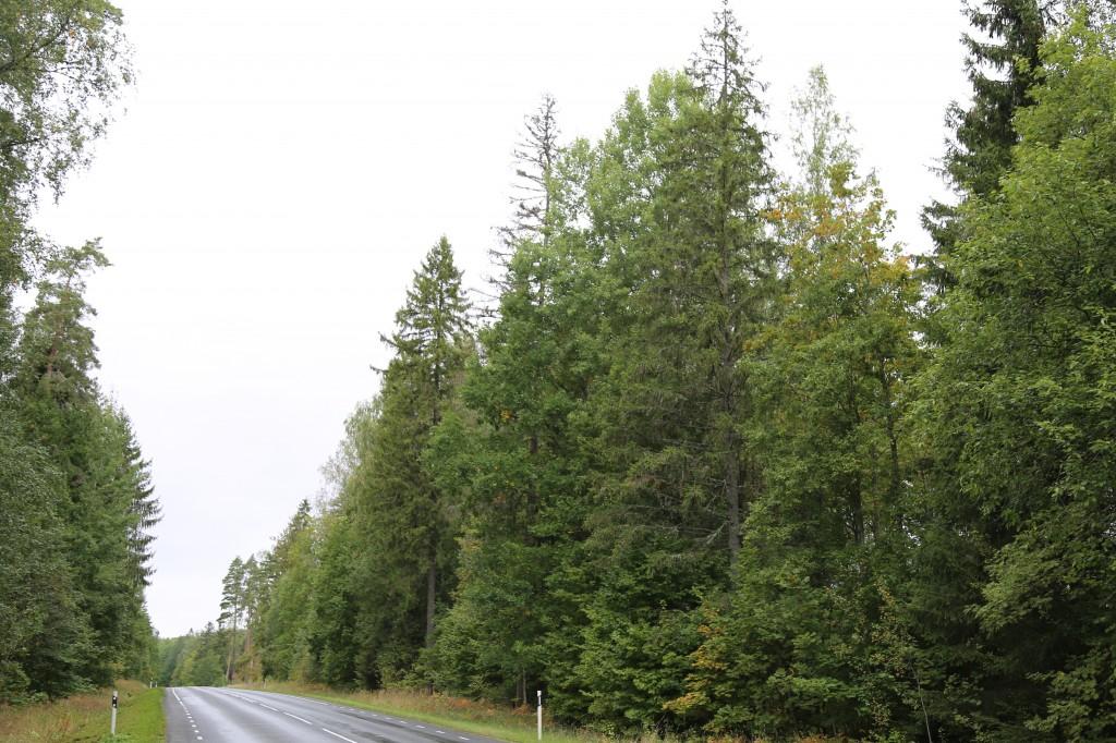 Vaade Piirivariku ristimetsale Võru-Kuigatsi-Tõrva tee pealt. Foto: Pikne Kama, 17.09.2020