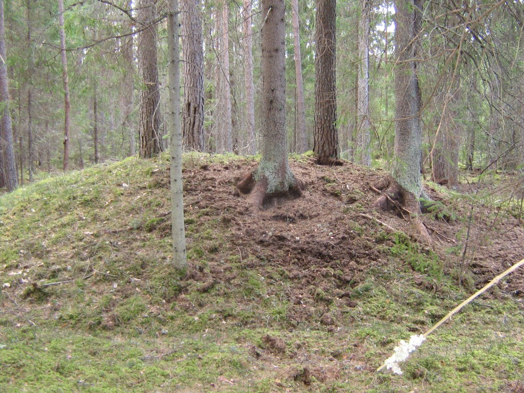 Vaade metssigade poolt kahjustatud kääpaosale.