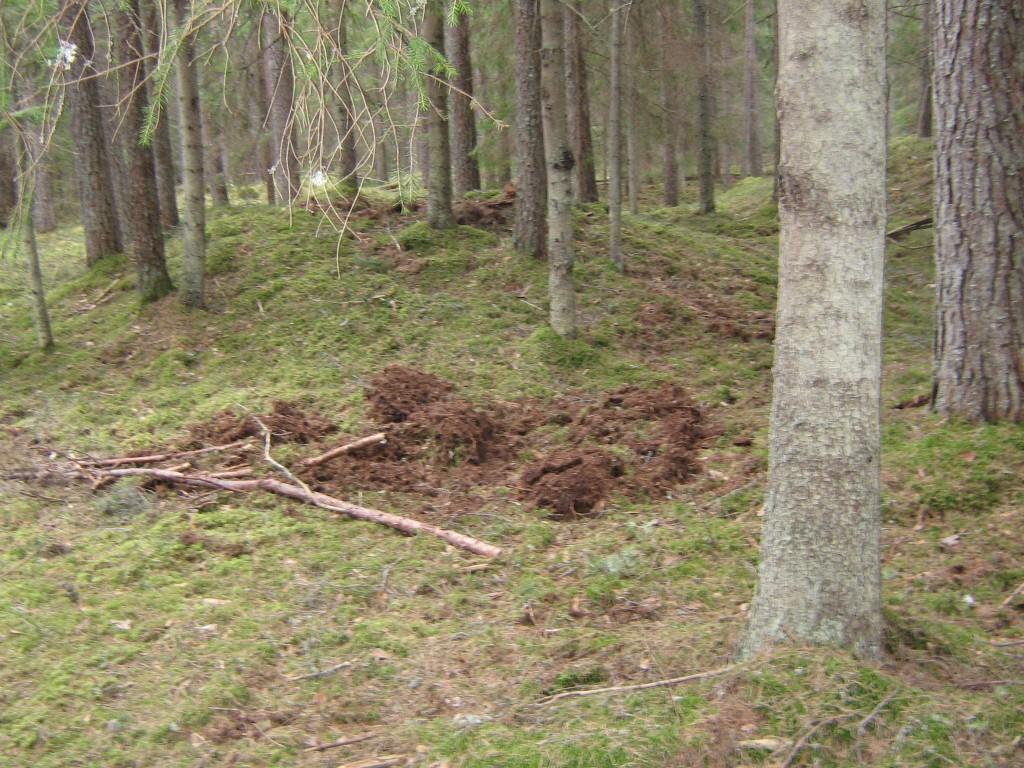 Vaade lõunapoolsete kääbastele, esimesed 2 on näha. Kääpal on 2010 aasta talvel tekkinud metsseakahjustused. Foto: Viktor Lõhmus, 21.04.2010.