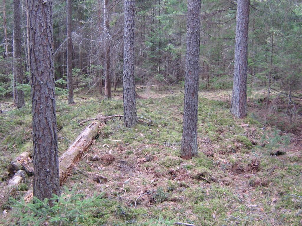 Vaade kääpale. Metssiga on sammalt üles ajanud. Foto: V. Lõhmus.