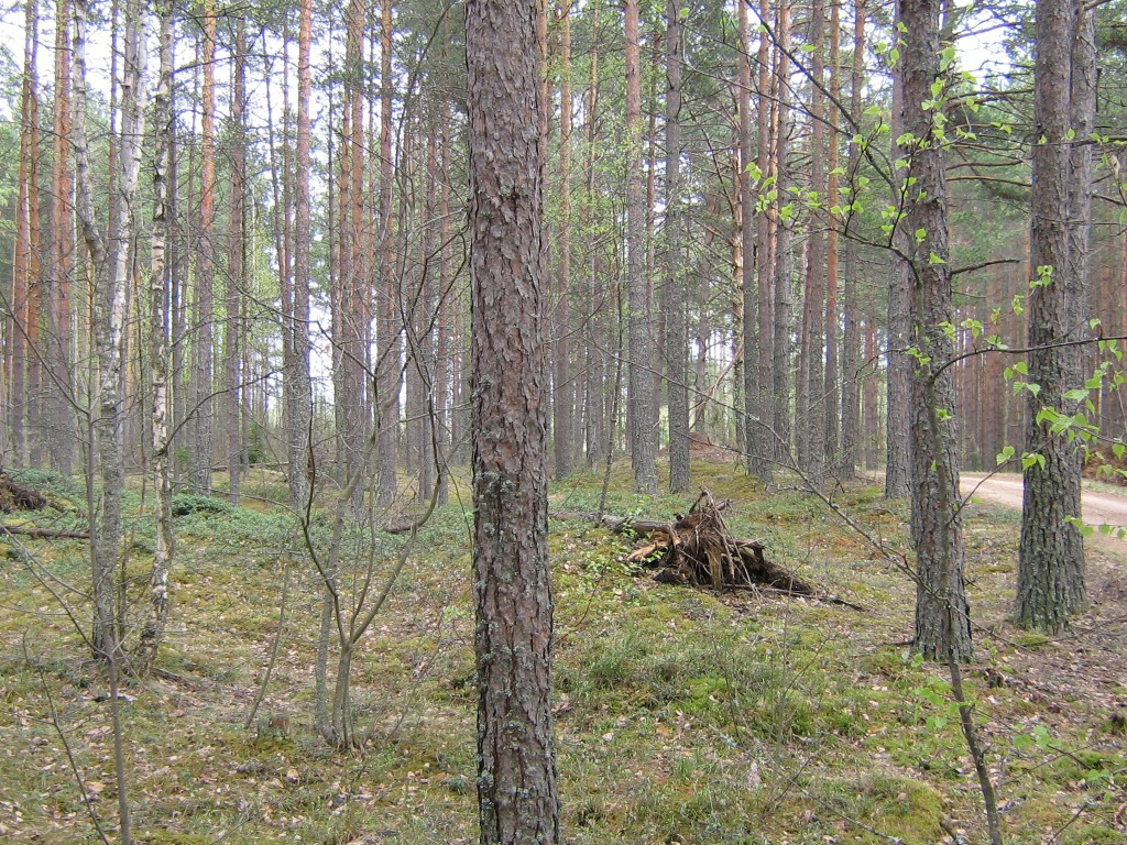 Metsatee ääres on 2 pikka kääbast, antud kääbas teest järgmine.