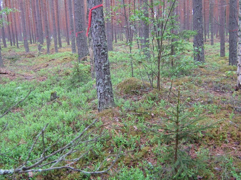 Vaade pikale kääpale. Metsahoolduse ajaks oli kääbas tähistatud lintidega. Foto: Viktor Lõhmus, 27.05.2010.