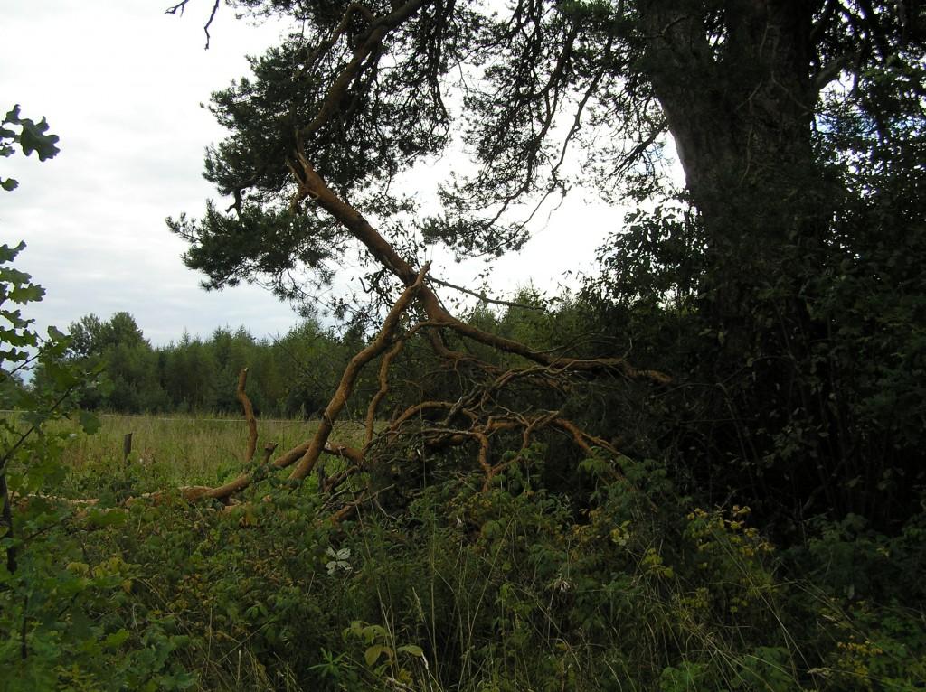 08.08.2010. a tormi käigus männilt murdunud oks. Foto: Martti Veldi, 09.09.2010.