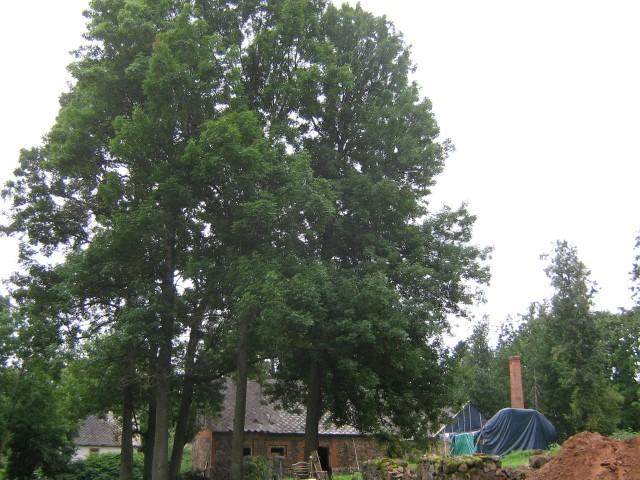 Vaade puude grupile Peri mõisa pargis. Lähedal asub endine mõisa laut. Viktor Lõhmus 18.08.2009
