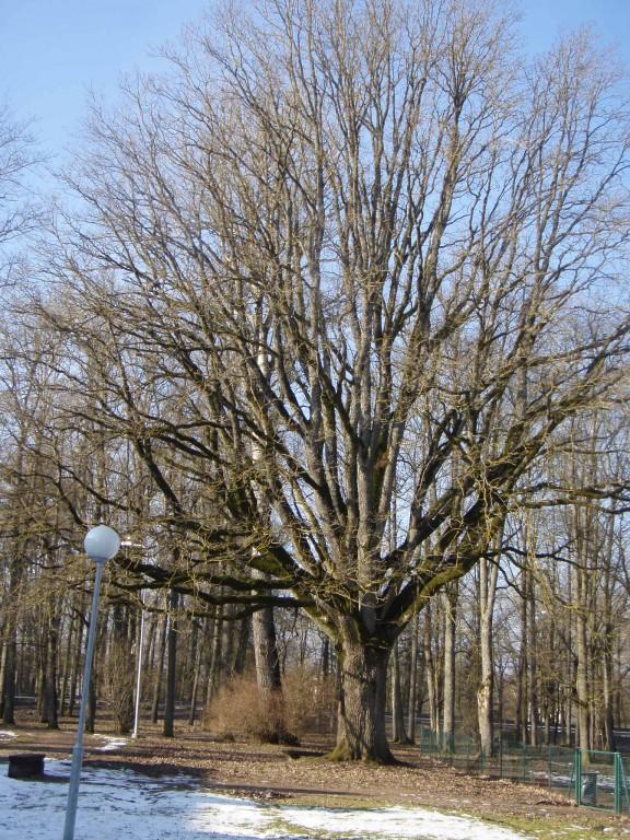 Autor: Sille Raidvere Kuupäev: 24.03.2008 Tamm Adavere mõisa pargis