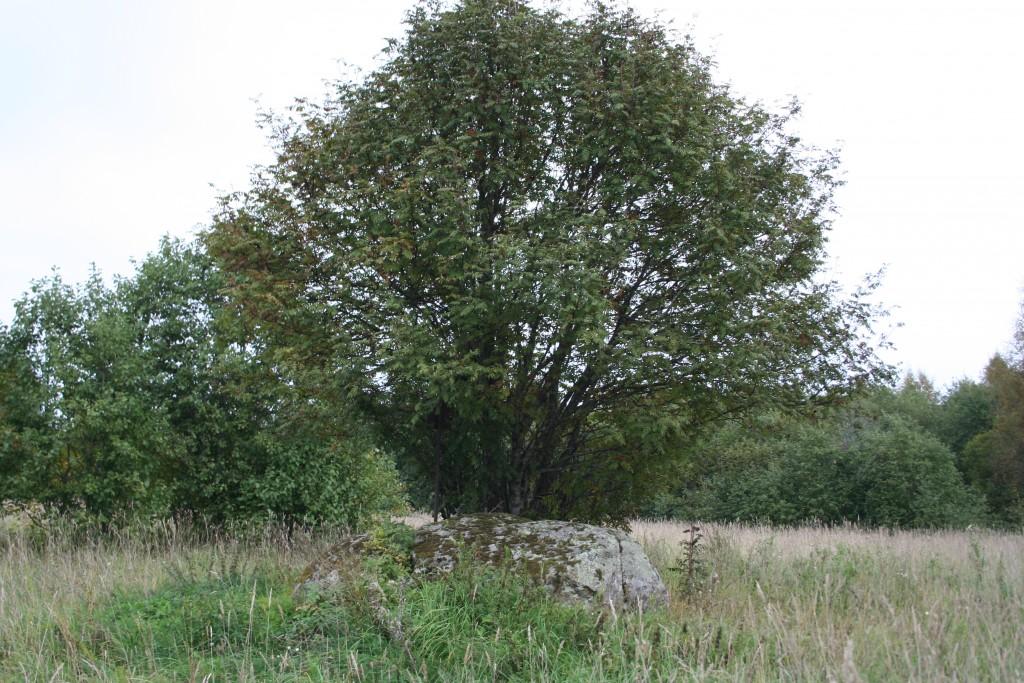 Vaade kaitsealusele kivile ja selle juures kasvavale pihlakale edela poolt. Foto: Armin Rudi, 12.09.2011.