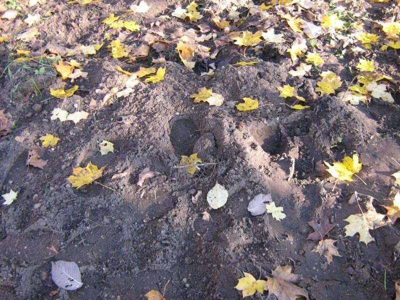 Karuse kirikuaia kaguosas kaevamise  jäljed  Kalli Pets 25.10.2011