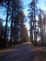 Vaade Vana-Vigala mõisa lehisealleele Teenuse suunalt. K. Klandorf 14.11.2012