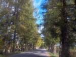 Vaade Vana-Vigala mõisa lehisealleele Kivi-Vigala suunalt (Oese küla). K. Klandorf 25.09.2013.