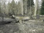 Murdunud puu kiriku põhjaküljel  Autor Kalli Pets  Kuupäev  09.04.2009