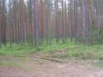 Vaade kääbastegrupi I kääpale. Kääbast on rikkunud metsatee, mis on rajatud metsasihi kohale. Foto: Viktor Lõhmus, 17.06.2010.