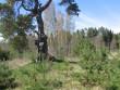 Vaade kääpale, mille peal kasvab kaitsealune puu. Foto: Viktor Lõhmus, 02.05.2012.