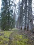 Vaimõisa mõisa pargi idaküljel asuv allee. K. Klandorf 26.04.2012
