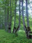 Raikküla mõisa pargi tagaväljaku äärsed pärnad. K. Klandorf 06.06.2012