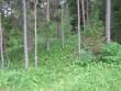 Läände suunduva metsatee ääres asub I kääbas. Kääbas on kaetud piibelehtedega. Foto: Viktor Lõhmus, 03.07.2012.