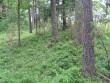 Tihedalt asuvad puud kääpal ja roheline marjataimestik. Foto: Viktor Lõhmus, 03.07.2012.