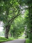 Alumised oksad on varasemalt maha saetud, ilmselt autoliikluse huvides. Vaatamata võra rikkumisele on puu endiselt elujõuline.