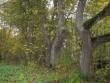 säilinud üksikud põlispuud  Autor Silja Konsa  Kuupäev  19.10.2006