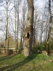 Paekivimüüri ohustav puu kirikuaia kirdenurgas  Autor Kalli Pets  Kuupäev  28.04.2009