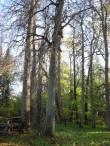 Elistvere mõisa park. Metsapargi osa. Vaade põhjast. Hooldusraied tehtud 2011 aastal.  Foto: Sille Raidvere Aeg: 19.10.2016