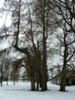 Uhtna mõisa park. Foto: Raili Uustalu 14.03.2018. Vaade mõisaaegsele puudegrupile esiväljakul.