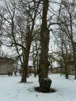 Uhtna mõisa park. Foto: Raili Uustalu 14.03.2018. Vaade mõisaaegsele üksikpuule esiväljakul.