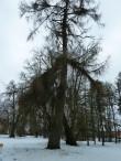 Uhtna mõisa park. Foto: Raili Uustalu 14.03.2018. Vaade mõisaaegsele okaspuule (lehis) tagaväljaku ääres.